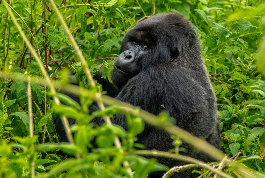 4 DAYS MOUNTAIN GORILLA