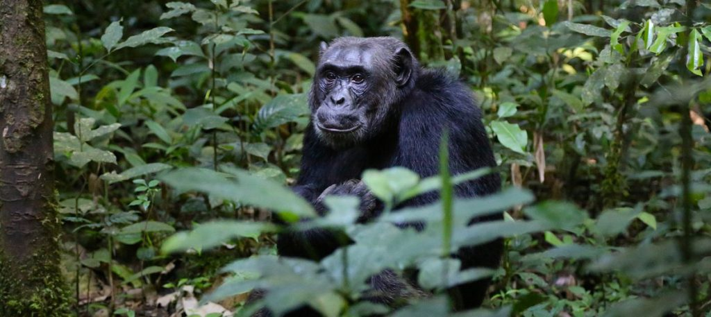 5 DAYS GORILLAS AND CHIMPANZEE SAFARI