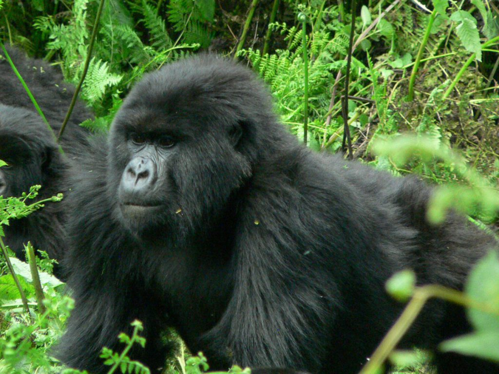 4 DAYS BWINDI SAFARI TOUR UGANDA